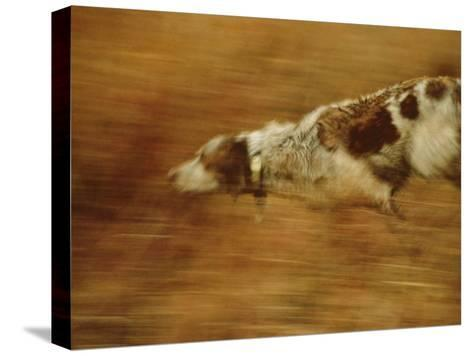 Hunting Dog Running-Joel Sartore-Stretched Canvas Print