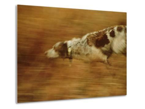 Hunting Dog Running-Joel Sartore-Metal Print