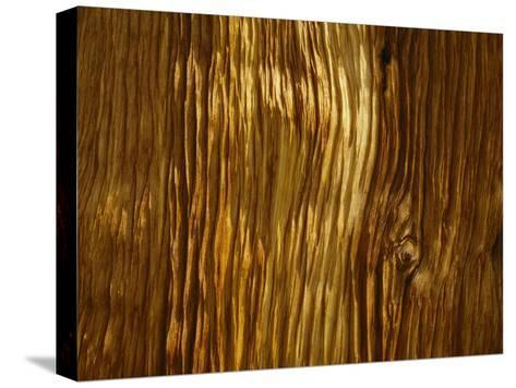Close View of a Weathered Foxtail Pine Bark-Marc Moritsch-Stretched Canvas Print