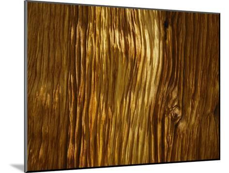 Close View of a Weathered Foxtail Pine Bark-Marc Moritsch-Mounted Photographic Print