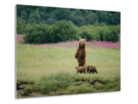 An Alaskan Brown Bear Guards Her Cubs-Roy Toft-Metal Print