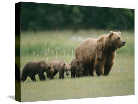 An Alaskan Brown Bear Leads Her Three Cubs-Roy Toft-Stretched Canvas Print