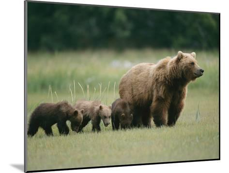 An Alaskan Brown Bear Leads Her Three Cubs-Roy Toft-Mounted Photographic Print