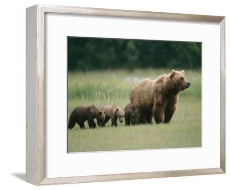 An Alaskan Brown Bear Leads Her Three Cubs-Roy Toft-Framed Art Print