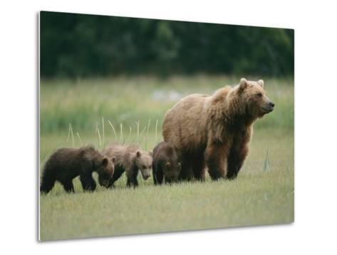 An Alaskan Brown Bear Leads Her Three Cubs-Roy Toft-Metal Print