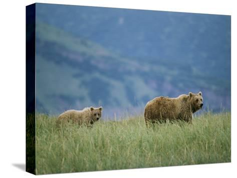 A Juvenile Alaskan Brown Bear Follows its Mother-Roy Toft-Stretched Canvas Print