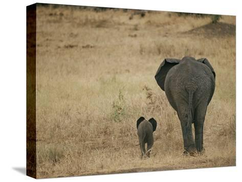 A Juvenile African Elephant and its Parent Walk off into the Savanna-Roy Toft-Stretched Canvas Print