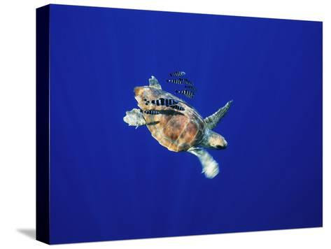 A Swimming Sea Turtle Flanked by Fish-Nick Caloyianis-Stretched Canvas Print