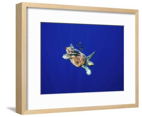 A Swimming Sea Turtle Flanked by Fish-Nick Caloyianis-Framed Art Print