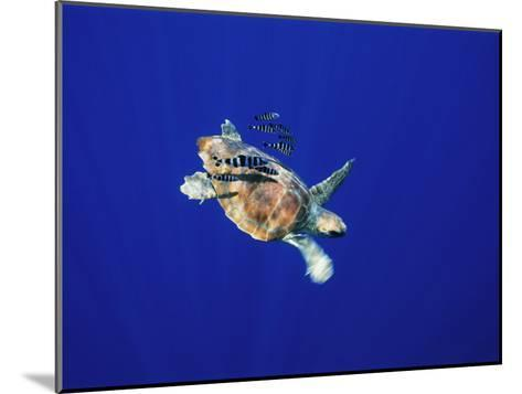 A Swimming Sea Turtle Flanked by Fish-Nick Caloyianis-Mounted Photographic Print