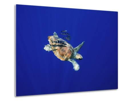 A Swimming Sea Turtle Flanked by Fish-Nick Caloyianis-Metal Print