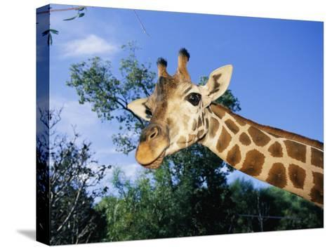 Close View of a Giraffe Looking Down into the Camera-Nick Caloyianis-Stretched Canvas Print