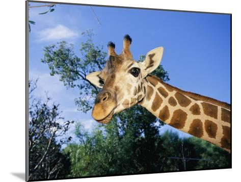 Close View of a Giraffe Looking Down into the Camera-Nick Caloyianis-Mounted Photographic Print