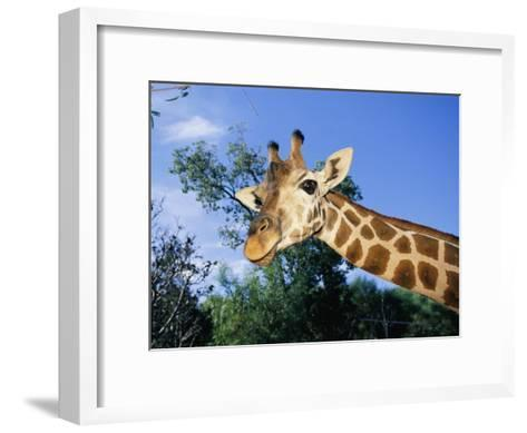 Close View of a Giraffe Looking Down into the Camera-Nick Caloyianis-Framed Art Print