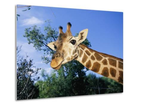 Close View of a Giraffe Looking Down into the Camera-Nick Caloyianis-Metal Print