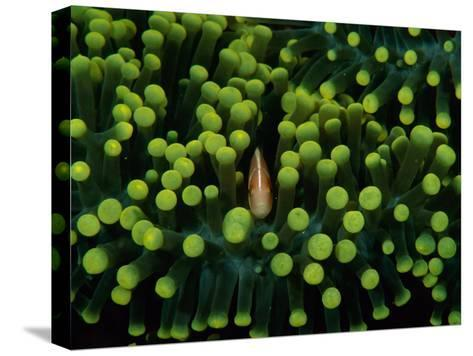 A Clown Fish (Amphiprion Bicinctus) Hiding in Anemones-Heather Perry-Stretched Canvas Print