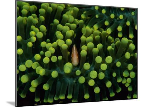 A Clown Fish (Amphiprion Bicinctus) Hiding in Anemones-Heather Perry-Mounted Photographic Print
