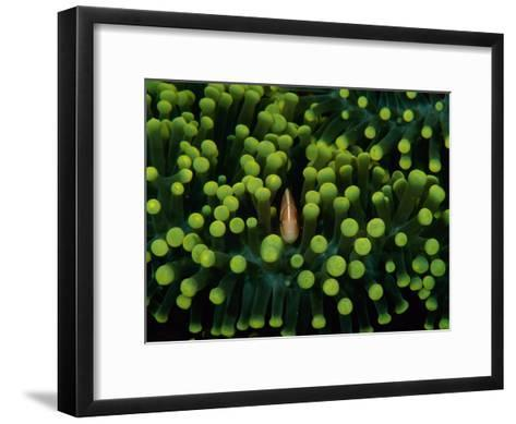 A Clown Fish (Amphiprion Bicinctus) Hiding in Anemones-Heather Perry-Framed Art Print