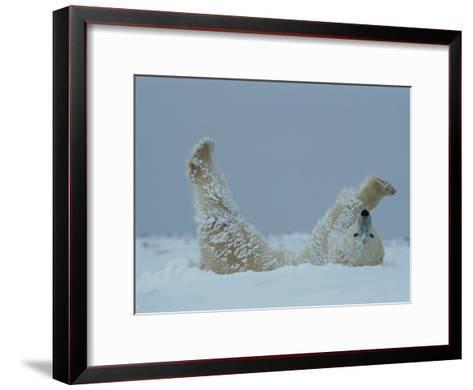 A Polar Bear (Ursus Maritimus) Rolls Through the Snow-Norbert Rosing-Framed Art Print