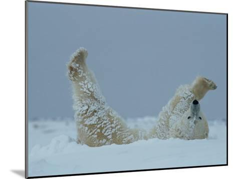 A Polar Bear (Ursus Maritimus) Rolls Through the Snow-Norbert Rosing-Mounted Photographic Print