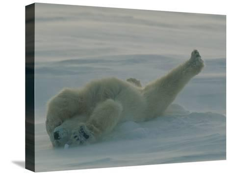 Polar Bear (Ursus Maritimus) Stretching During Nap in Snow-Norbert Rosing-Stretched Canvas Print