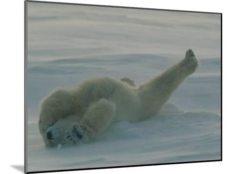 Polar Bear (Ursus Maritimus) Stretching During Nap in Snow-Norbert Rosing-Mounted Photographic Print