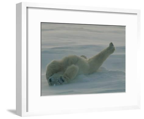 Polar Bear (Ursus Maritimus) Stretching During Nap in Snow-Norbert Rosing-Framed Art Print