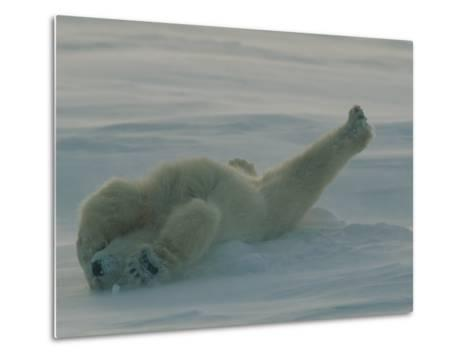 Polar Bear (Ursus Maritimus) Stretching During Nap in Snow-Norbert Rosing-Metal Print