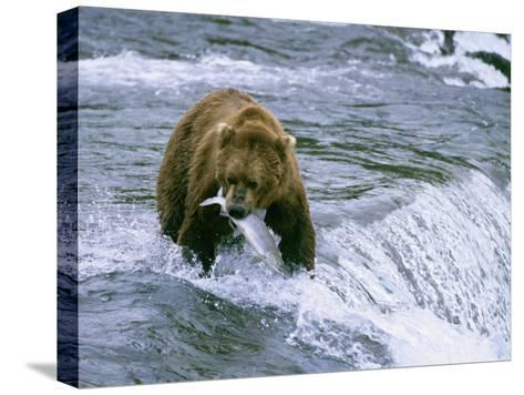 Grizzly Bear (Ursus Arctos) Fishing at Brook Falls, Katmai National Park, Alaska-Rich Reid-Stretched Canvas Print