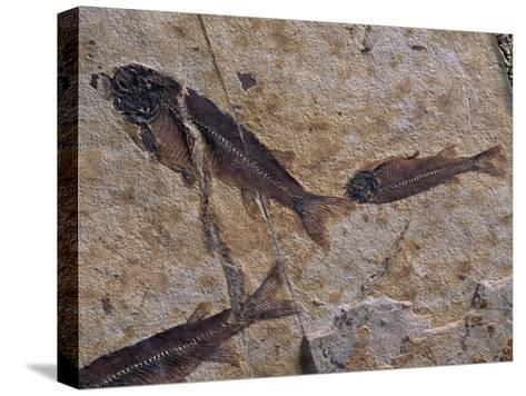 Fish Fossils Found at Sihetun, Liaoning Province, China-O^ Louis Mazzatenta-Stretched Canvas Print