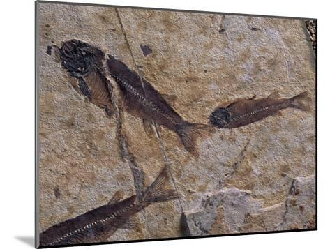 Fish Fossils Found at Sihetun, Liaoning Province, China-O^ Louis Mazzatenta-Mounted Photographic Print