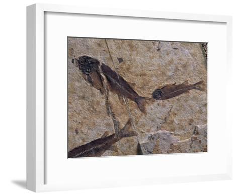 Fish Fossils Found at Sihetun, Liaoning Province, China-O^ Louis Mazzatenta-Framed Art Print
