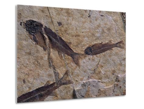 Fish Fossils Found at Sihetun, Liaoning Province, China-O^ Louis Mazzatenta-Metal Print