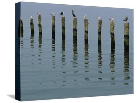 Gulls Perched on Pilings-Robert Madden-Stretched Canvas Print