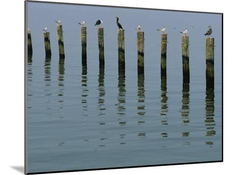 Gulls Perched on Pilings-Robert Madden-Mounted Photographic Print