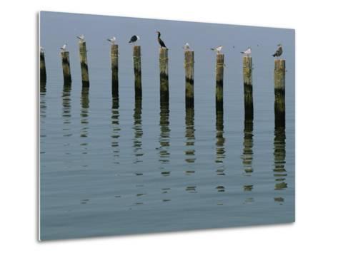 Gulls Perched on Pilings-Robert Madden-Metal Print