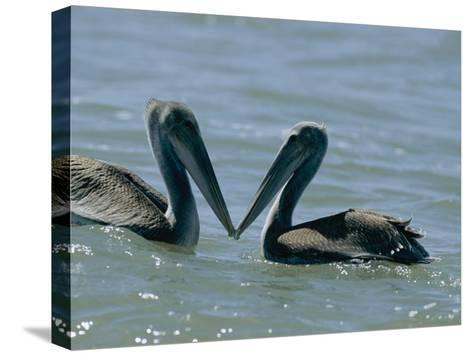 Brown Pelicans Touching Beaks-Robert Madden-Stretched Canvas Print