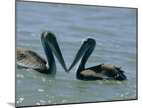 Brown Pelicans Touching Beaks-Robert Madden-Mounted Photographic Print