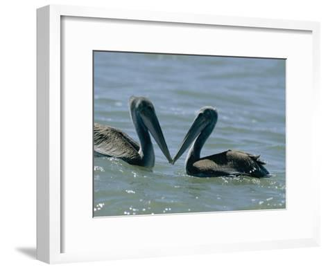 Brown Pelicans Touching Beaks-Robert Madden-Framed Art Print