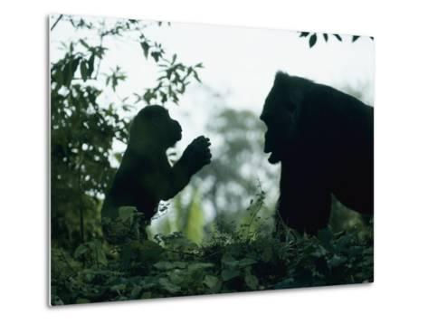 A Female Western Lowland Gorilla Appears to Be Teaching Her Youngster-Jason Edwards-Metal Print
