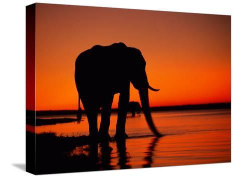 African Elephant Silhouetted at Twilight-Beverly Joubert-Stretched Canvas Print