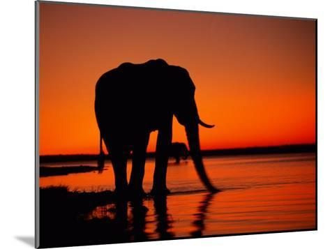 African Elephant Silhouetted at Twilight-Beverly Joubert-Mounted Photographic Print