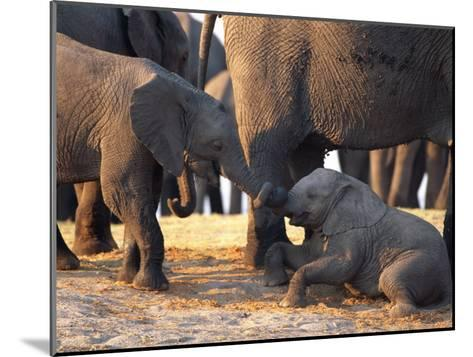 Juvenile African Elephants Touch Trunks-Beverly Joubert-Mounted Photographic Print