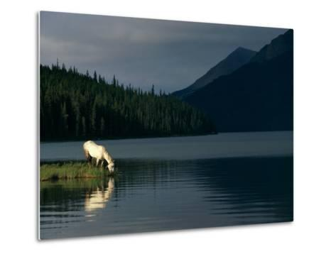 A Horse Drinks from a Lake-Raymond Gehman-Metal Print