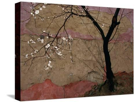 Plum Tree against a Colorful Temple Wall-Raymond Gehman-Stretched Canvas Print