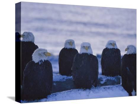 A Group of Bald Eagles Rest on a Breakwater in Homer-Norbert Rosing-Stretched Canvas Print