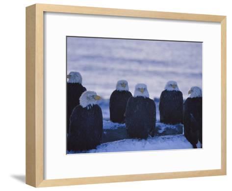 A Group of Bald Eagles Rest on a Breakwater in Homer-Norbert Rosing-Framed Art Print