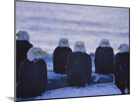 A Group of Bald Eagles Rest on a Breakwater in Homer-Norbert Rosing-Mounted Photographic Print