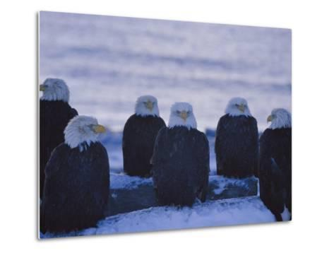 A Group of Bald Eagles Rest on a Breakwater in Homer-Norbert Rosing-Metal Print