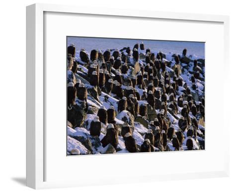 A Group of Bald Eagles Bask on a Breakwater in Homer-Norbert Rosing-Framed Art Print